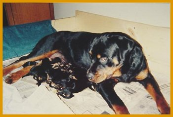 Mara's rottweiler,