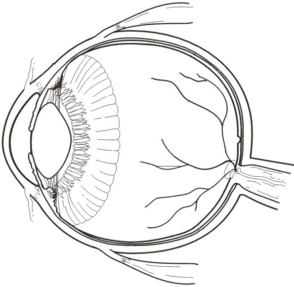 human eye diagram unlabelled