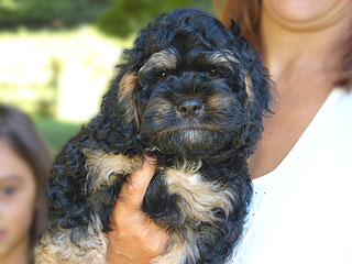 A Black & Tan-coloured