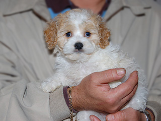 A Buff & White Parti-coloured