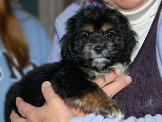 A Black & Tan (Phantom)-coloured