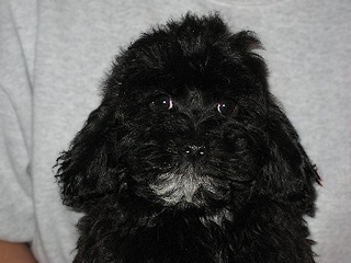A Black-Sable -coloured