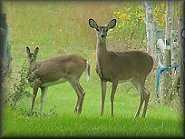 2 young deer, grazing