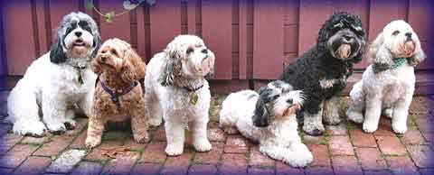 Breeder of Beautiful Cockapoo, Schnoodle and Cavapoo puppies